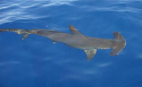 requin-m-1.jpg